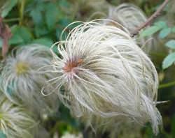 Как вырастить клематис из семян в домашних условиях (видео)