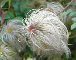 Клематис из семян: посадка и уход в домашних условиях