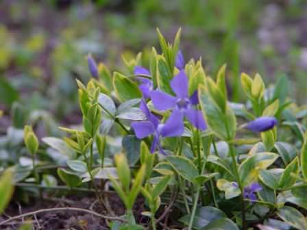 Цветы барвинок (15 фото)