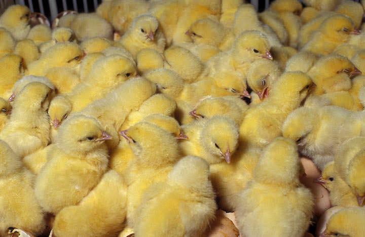 Лучше приобретать цыплят в возрасте от 1-10 дней