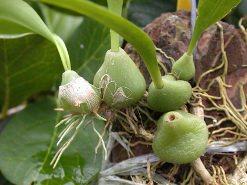 Орхидея Бульба