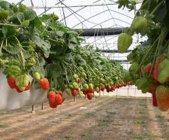 Особенности и преимущества голландской технологии выращивания клубники