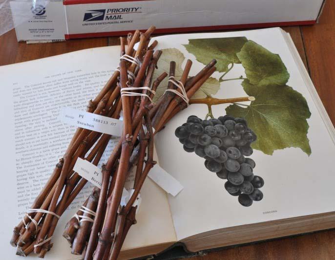 Черенки винограда на Кубани местные садоводы предпочитают приобретать осенью