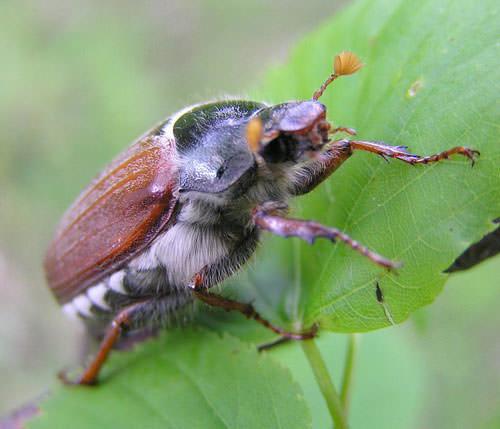 Вредитель лесов и огородов майский жук