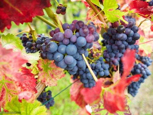 Готовим к зиме виноград Девичий
