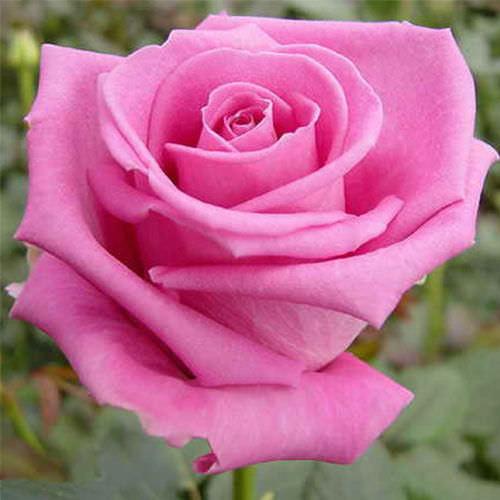 Роза сорта Аква (Aqua): описание сорта, правила защиты от вредителей и укрытия на зиму