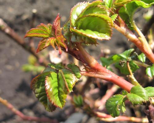 Как обрабатывать розы весной