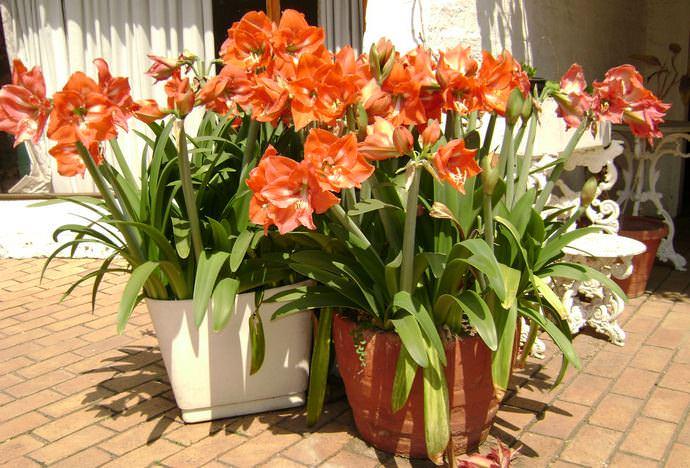 В летний период гиппеаструм лучше всего переносить в сад