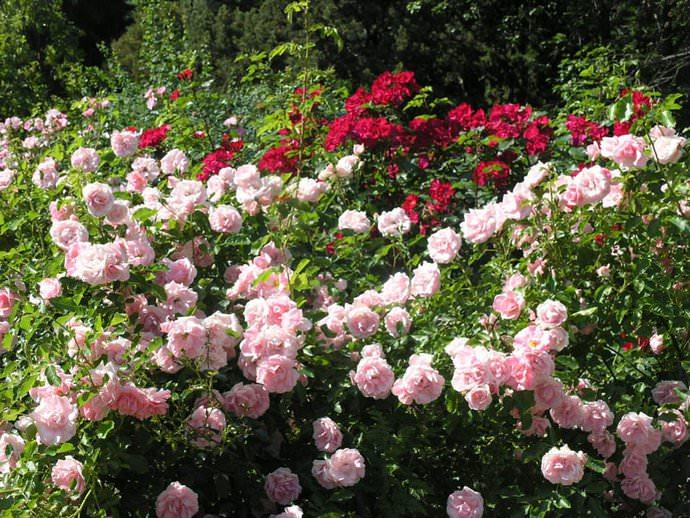 Благоприятные условия позволяют парковым розам формировать сильные и мощные кусты, обладающие обильным и продолжительным периодом цветения и плодоношением