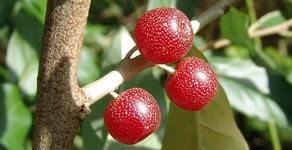 Растение гумми (10 фото)