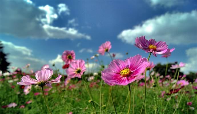 Под посадку и выращивание космеи идеально подходят участки, представленные рыхлыми и хорошо дренируемыми почвами