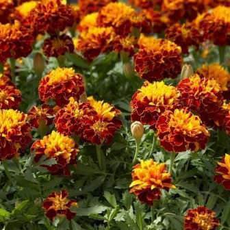Лекарственные бархатцы: фото цветов и описание