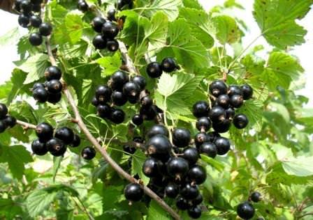Посадка черной смородины: совместимость с другими видами