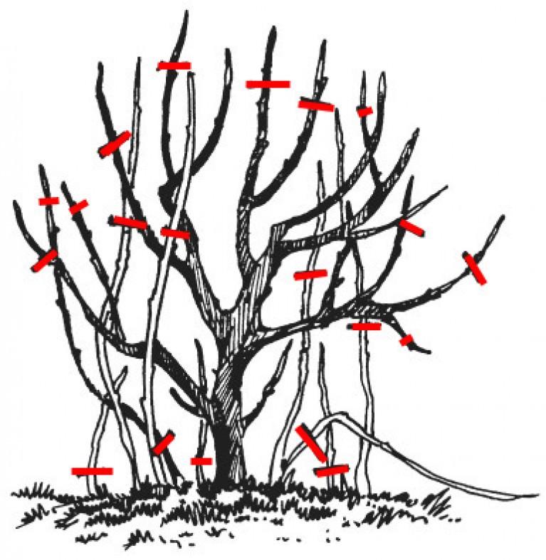 При обрезке кустов следует оставлять не более 7-9 ветвей, иначе загущенные растения будут давать мелкие и кислые плоды