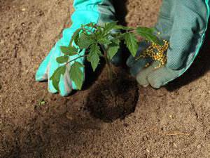 Чем подкормить помидоры после высадки в грунт: виды удобрений и правила внесения