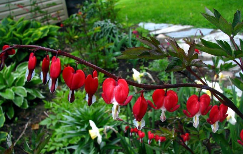 Прекрасная дицентра: садовое воплощение разбитых сердец