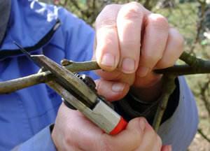 Технология обрезки груши для начинающих садоводов