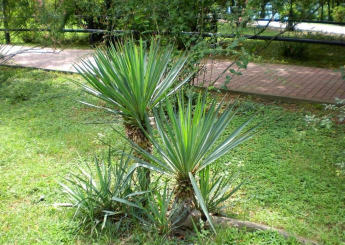 Весьма эффектно тропическое деревце смотрится в качестве солитерного растения, выращиваемого на газонах