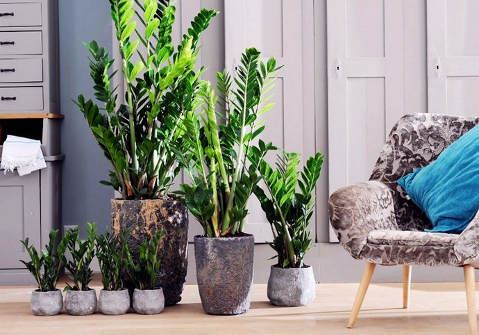Чтобы домашнее выращивание замиокулькаса сопровождалось удачей в бизнесе очень важно должным образом осуществлять уход