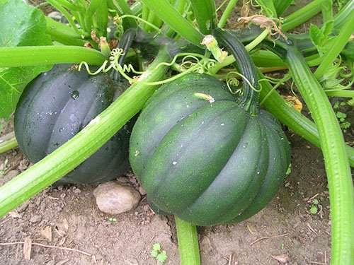 Технология выращивания тыквы в открытом грунте