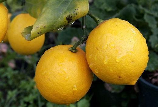Чем полезен лимон для организма человека