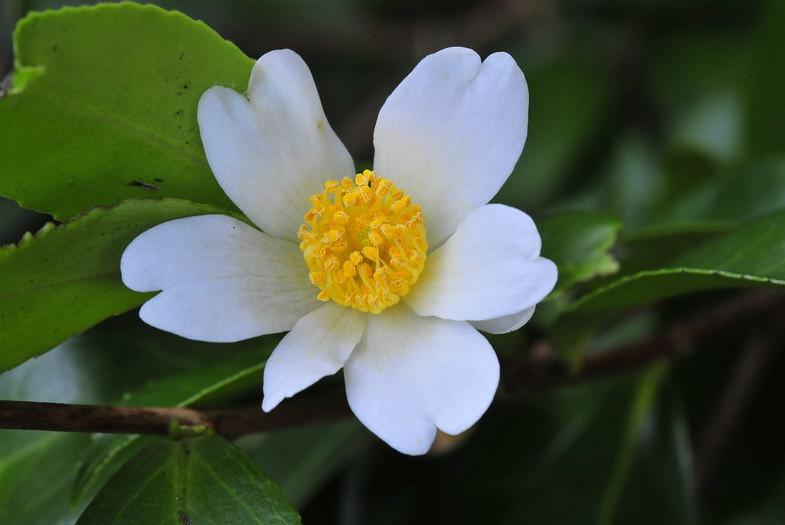 Масличная камелия (C.oleifera)