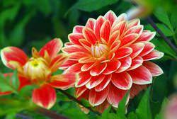 Георгины: фото цветов в саду