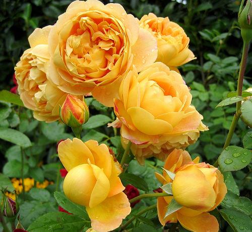 Желтые розы: сортовое разнообразие и варианты сочетания с другими растениями