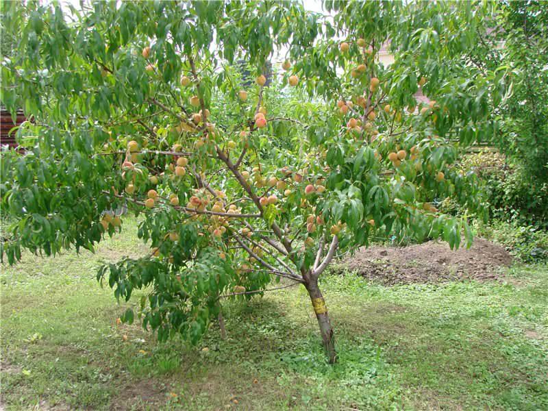 Что нужно знать при посадке персикового дерева?