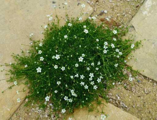 Мшанка шиловидная: особенности и секреты выращивания ирландского мха