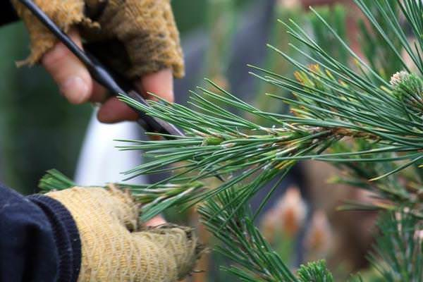 Обрезка осуществляется простыми садовыми ножницами с длинным лезвием