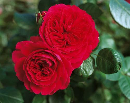 Характеристика сортов роз Леонардо да Винчи и Леонардо да Винчи ред