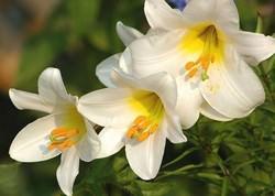 Королевская гибридная лилия: сортовая характеристика и особенности агротехники