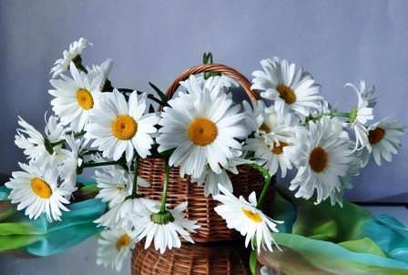 Когда обычно цветут полевые и садовые ромашки?