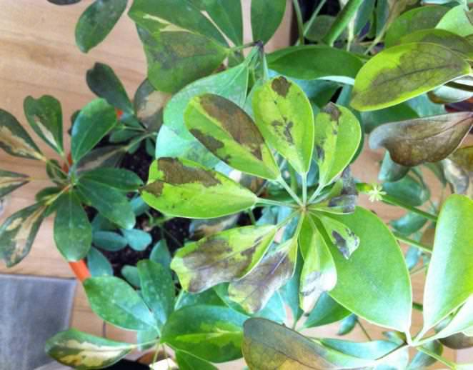 Недостаточная влажность и негативное воздействие сквозняков – основные причины потери комнатным растением декоративного внешнего вида и появления характерных коричневых краёв на листве