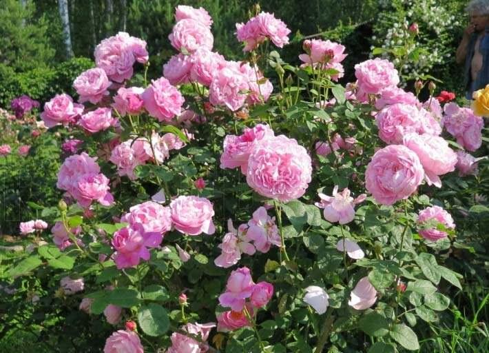 Сорт Мэри Роуз прекрасно подходит для культивирования в условиях северного цветоводства