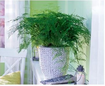 Спаржа: выращивание и уход