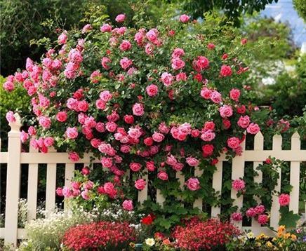 Кустовые розы: посадка и уход