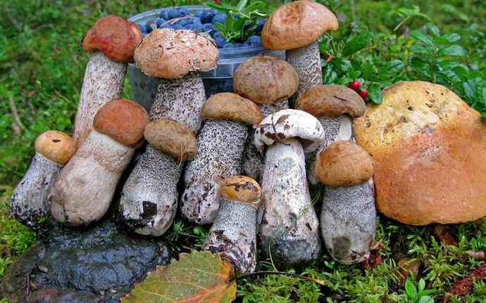 Золотая осень – это прекрасное время для сбора грибного урожая