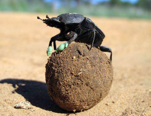 Коровий навоз как удобрение: правила и варианты использования