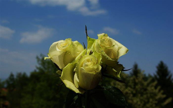 Розы нельзя выращивать на одном пространстве с гладиолусами и георгинами, так как эти декоративные культуры способны воздействовать друг на друга угнетающе