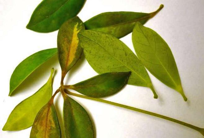 Чаще всего листва у шеффлеры опадает при проблемах, связанных с низкой или слишком высокой температурой, а также сухостью грунта в цветочном горшке