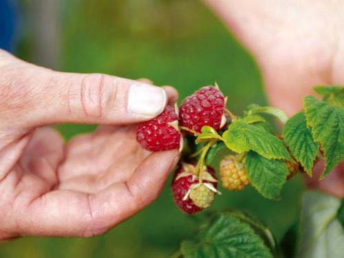 Методы и секреты выращивания малины на даче