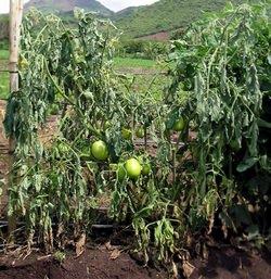 Фузариозное увядание томатов: признаки поражения и эффективные методы лечения