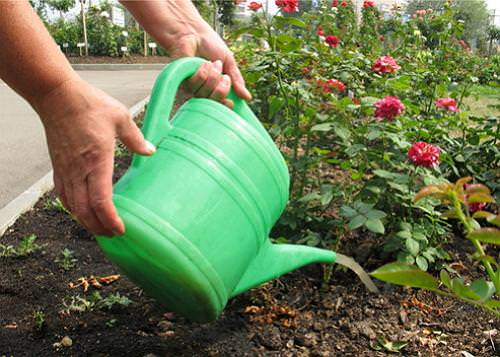 Чем и как подкормить розу весной