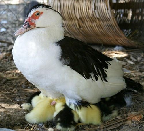 Утки муларды: что за птицы, и как их вырастить в домашних условиях