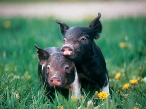 Породы свиней: описание и основные характеристики