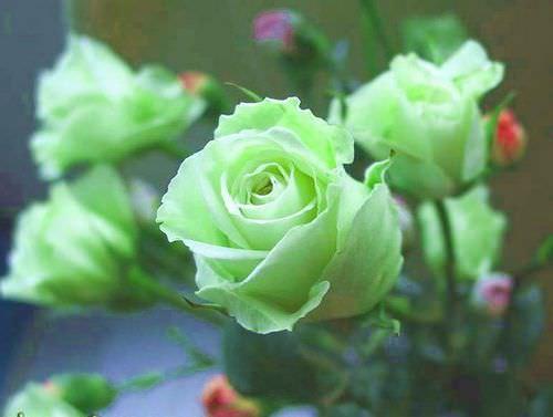 Роза зеленая: фото и описание