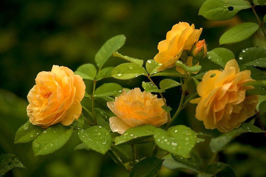 Розы с нежными беловато-желтыми цветками эффектно смотрятся с кремовыми сортами и гибридами