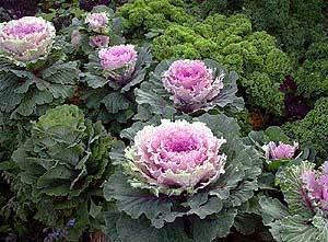 Капуста декоративная выращивание из семян